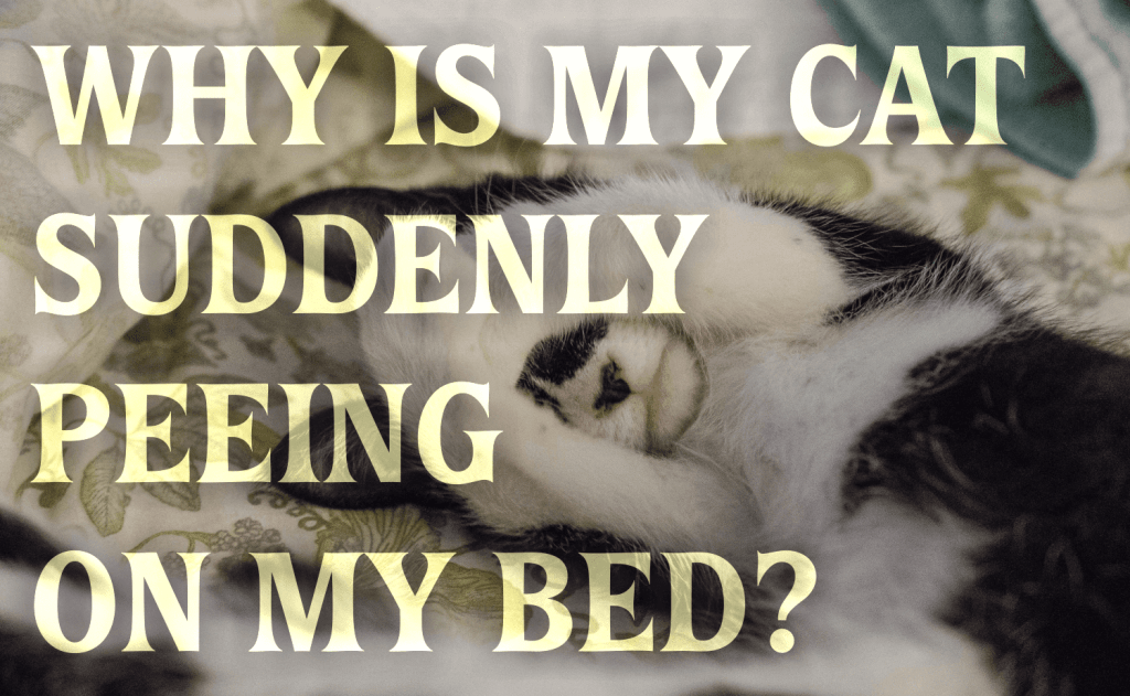Why Is My Cat Suddenly Peeing On My Bed?