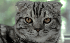 How Long Do Tabby Cats Live Indoors?