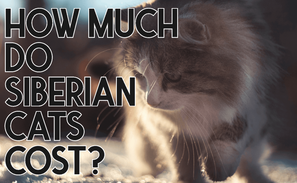 How Much Do Siberian Cats Cost?