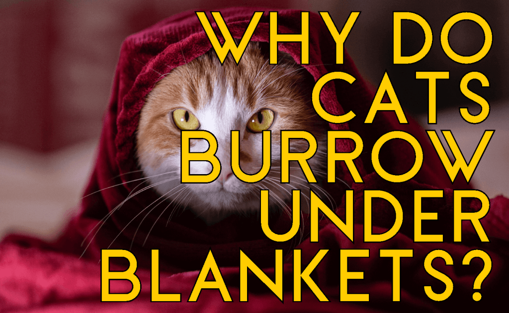 Why Do Cats Burrow Under Blankets?