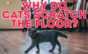 Why Do Cats Scratch The Floor?