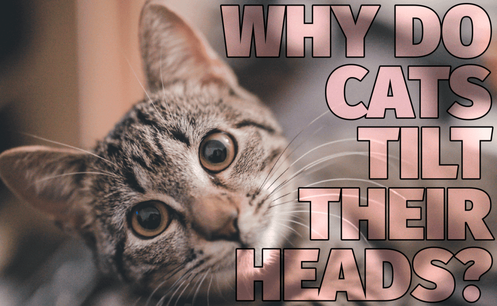 Why Do Cats Tilt Their Heads?