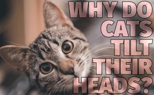 Why Do Cats Tilt Their Heads?