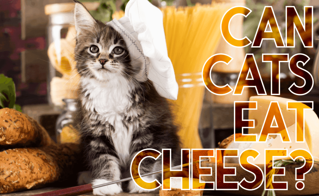 Can Cats Eat Cheese?