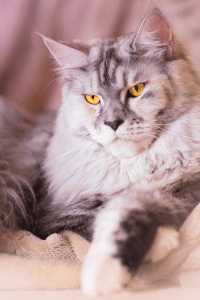 How Much Do Maine Coon Cats Cost?