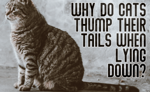 Why Do Cats Thump Their Tails When Lying Down?