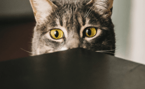 Why Do Cats' Eyes Get Big?