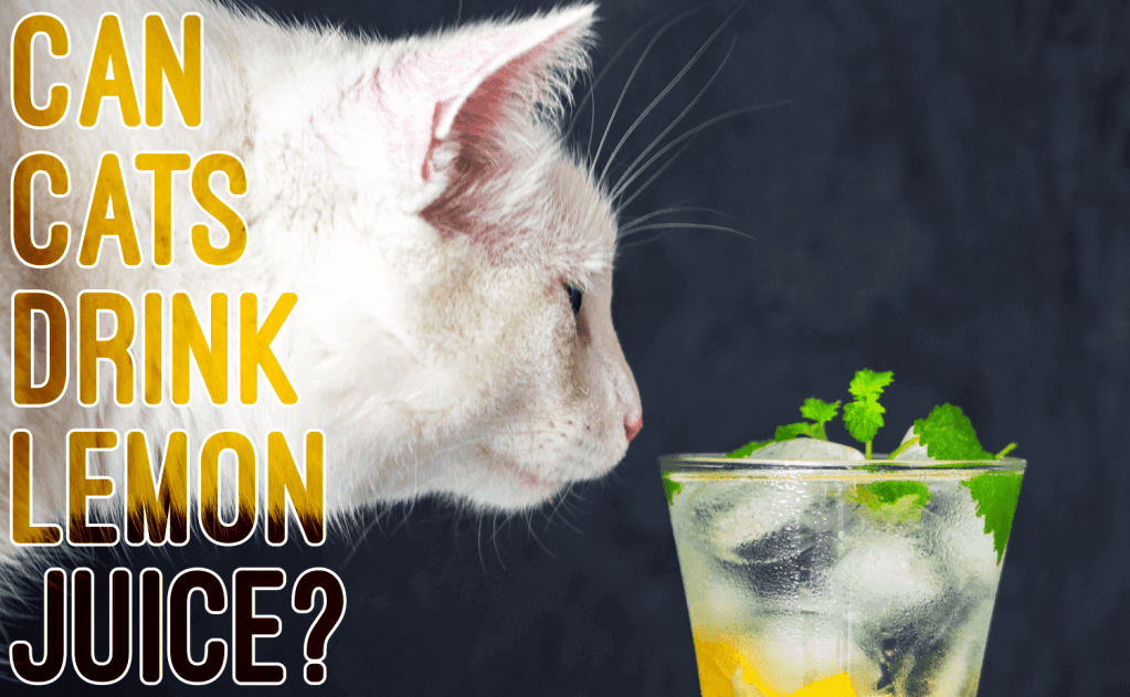 Can Cats Drink Lemon Juice?