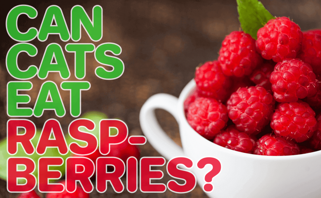 Can Cats Eat Raspberries?