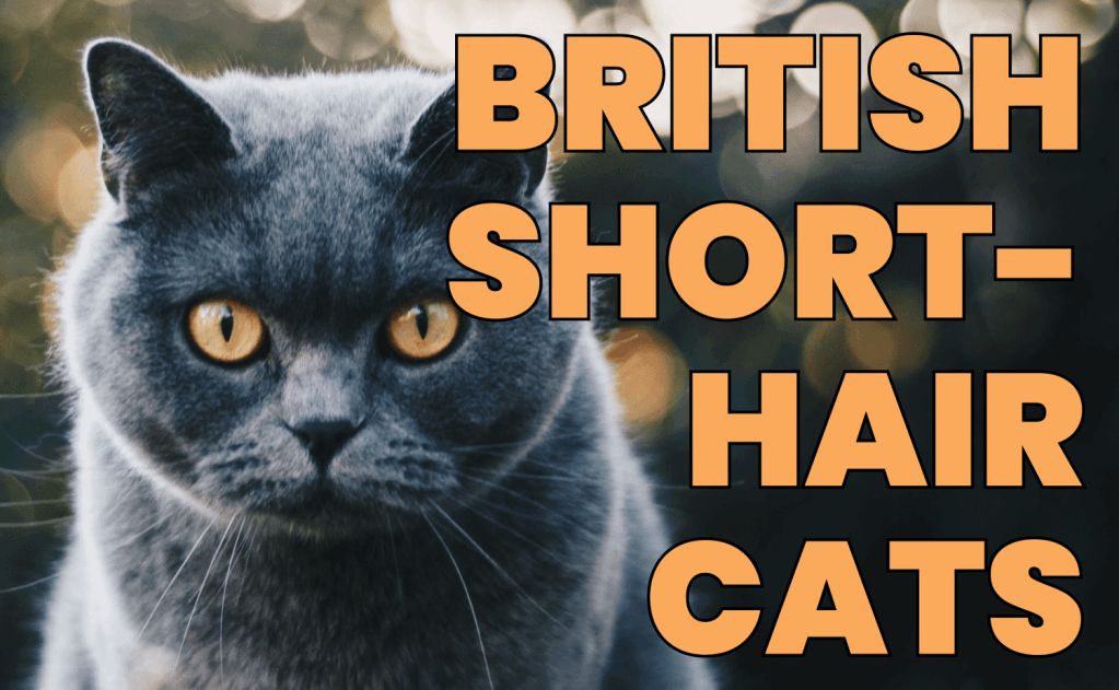 All About British Shorthair Cats