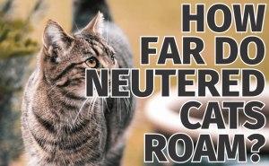 How Far do Neutered Cats Roam?