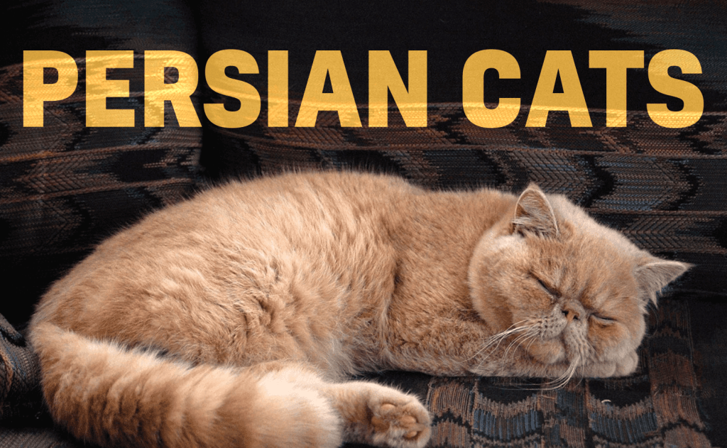 All About Persian Cats