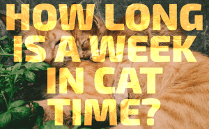 How Long Is a Week in Cat Time?