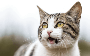 Why Do Cats Lick Their Lips When Angry?