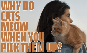 Why Do Cats Meow When You Pick Them Up?
