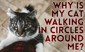 Why Is My Cat Walking in Circles Around Me