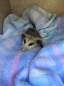 small mammals wildlife rehabilitation and release - cawildlifeopossom