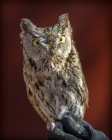 cawildlifeowl