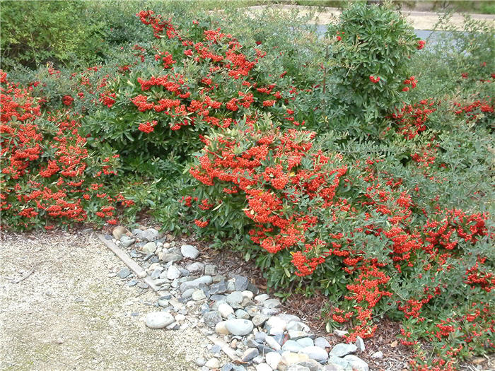 Image result for pyracantha coccinea