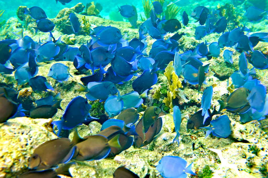 a school of blue tang fish on the reef in grand cayman