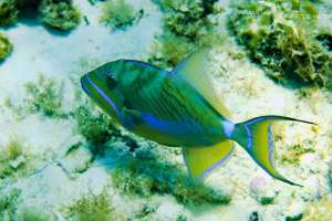 parrotfish over the coral reef in grand cayman