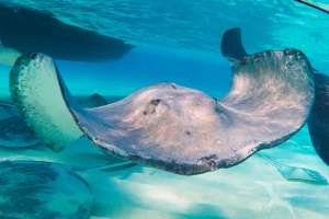 stingray swimming directly at the camera in grand cayman