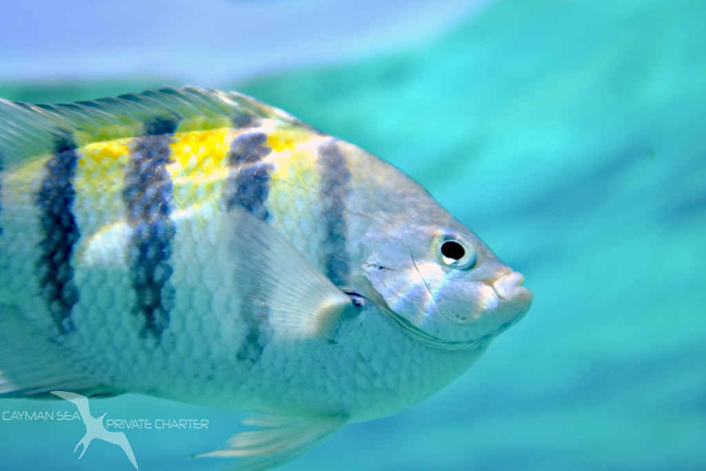 close up of reef fish snorkeling in grand cayman