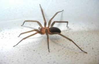 Araña de los rincones