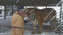 Lynn Gustafson, owner of Guzoo Animal Farm, with Raj the tiger.
