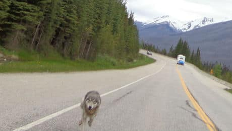 The wolf got within metres of Tim Bartlett's motorcycle during the weekend chase.