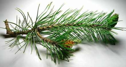 a-Pinene: the most commonly occurring terpene, with a piney-fresh scent. Anti-inflammatory and can act as a bronchodilator. May also help with short-term memory loss associated with cannabis use. b-Pinene–Similarly scented with woody pine aroma, like a-Pinene, this terpene is said to help with memory retention and is a potent antioxidant and cancer-fighting compound.