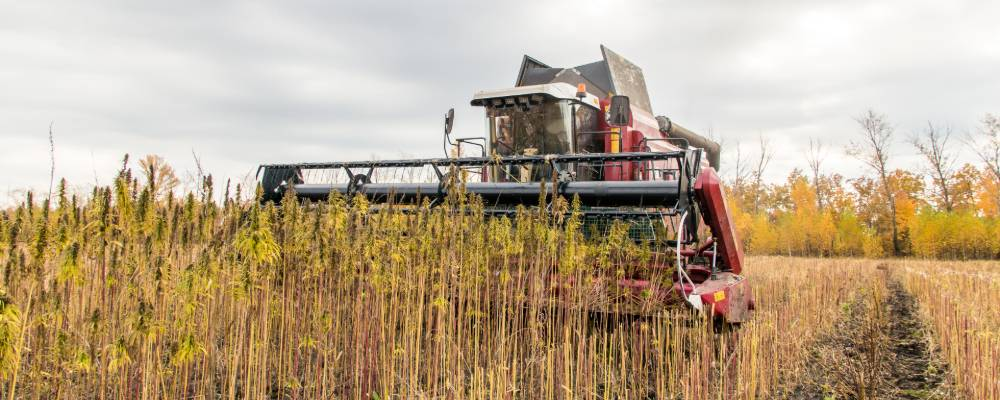 Harvesting hemp in the united states
