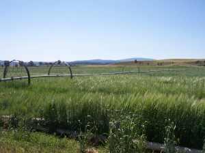 brown-hayfield