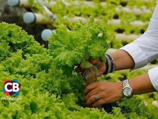 Lechugas hidropónicas una granja en la nevera