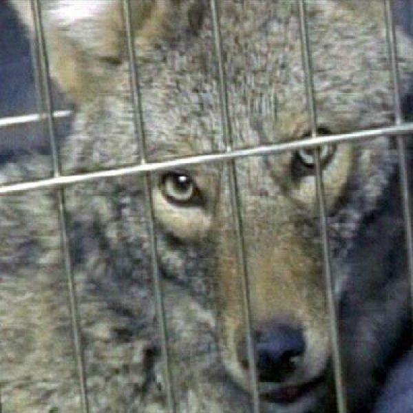 coyote_49219