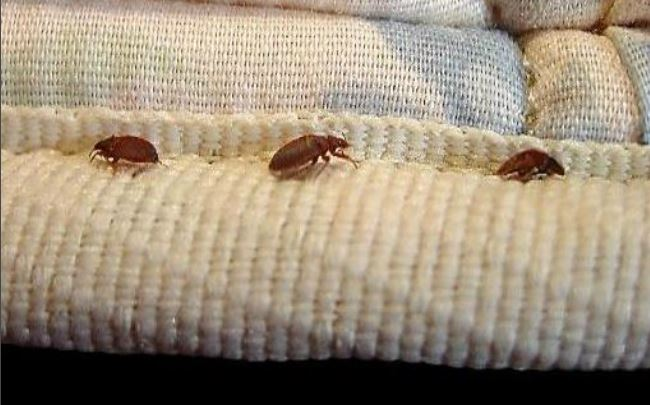 bed-bugs-650w_315954