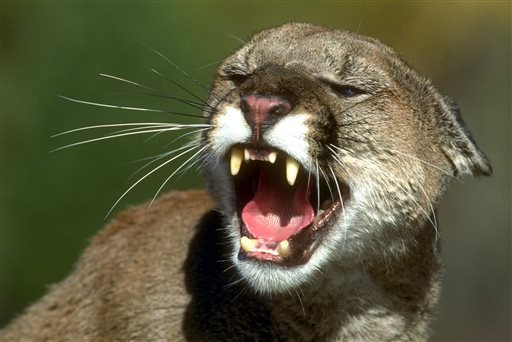 Man chokes mountain lion to death after it attacked him in