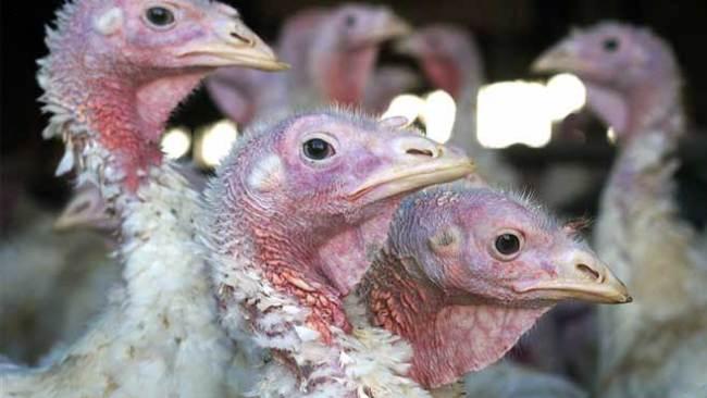 Turkeys_121614
