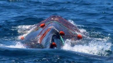 Video: Salvan a ballena atrapada en una malla en las costas de Baja California Sur