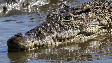 IMÁGENES FUERTES: Acaricia a un cocodrilo en la cabeza y casi pierde la mano