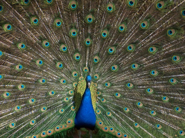Photo of a peacock