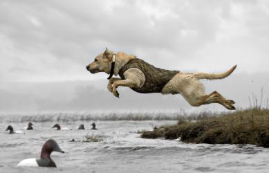 yellow-labrador-hunting