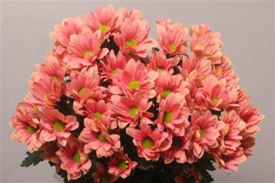 Image result for chrysant grand salmon