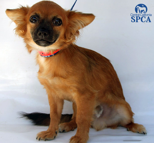 Ricky ID24041060 3 Month Old Male Brown And Black Papillion Long Hair Chihuahua Blend