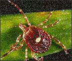 Lone star tick (Amblyomma americanum)