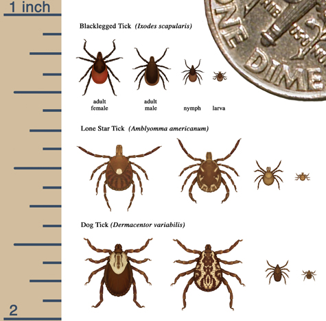 ticks at different life stages