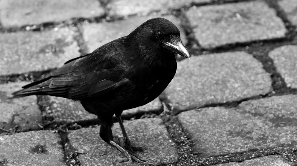common-raven-2487765_960_720.jpg