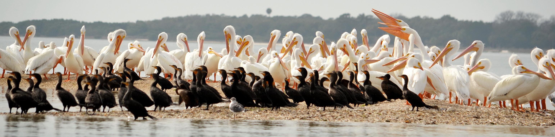 pelicans 0118xe