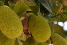 dżakfrut