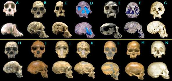 Skulls_HumanEvolution